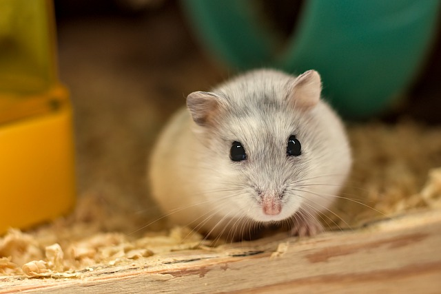 Hamsters Make Great Pets For Young Children